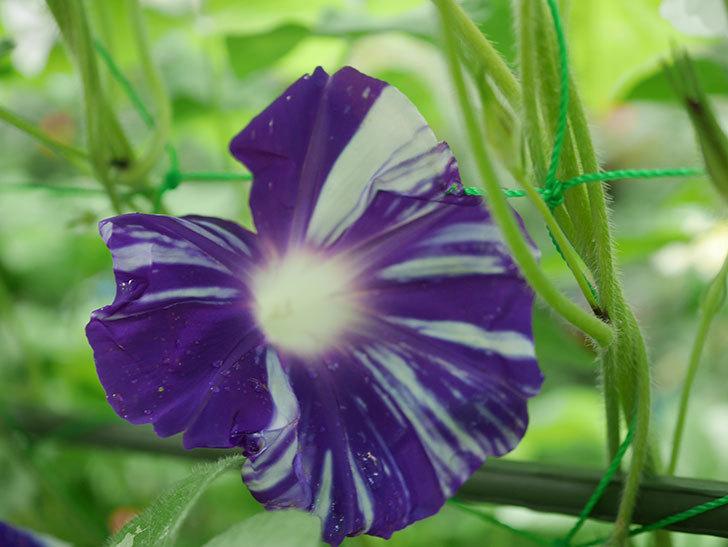 絞り咲アサガオの白紫の花が咲いた。2019年-1.jpg