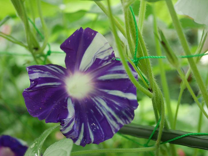 絞り咲アサガオの白紫の花が咲いた。2019年-2.jpg