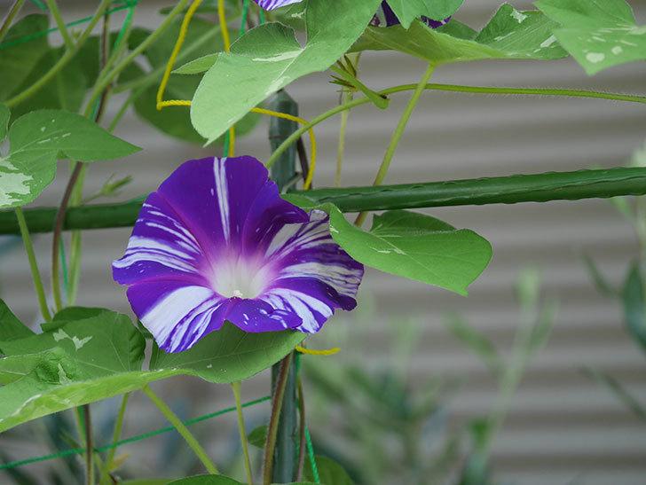 絞り咲アサガオの白紫の花が咲いた。2020年-001.jpg