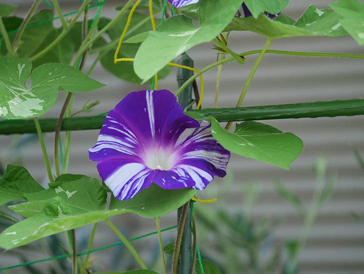 絞り咲アサガオの白紫の花が咲いた。2020年-002.jpg