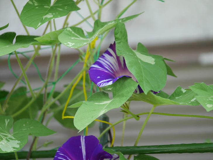 絞り咲アサガオの白紫の花が咲いた。2020年-003.jpg
