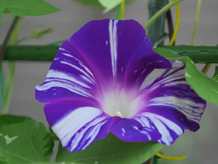 絞り咲アサガオの白紫の花が咲いた。2020年-004.jpg