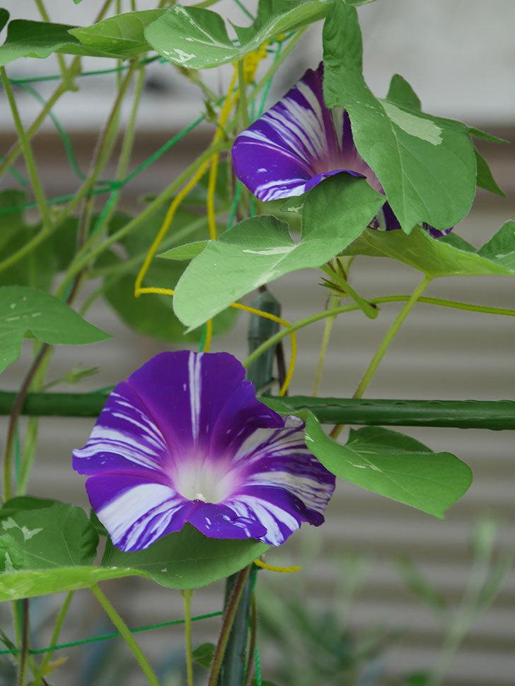 絞り咲アサガオの白紫の花が咲いた。2020年-005.jpg