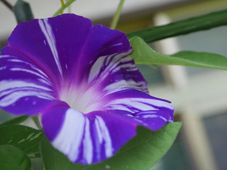 絞り咲アサガオの白紫の花が咲いた。2020年-007.jpg