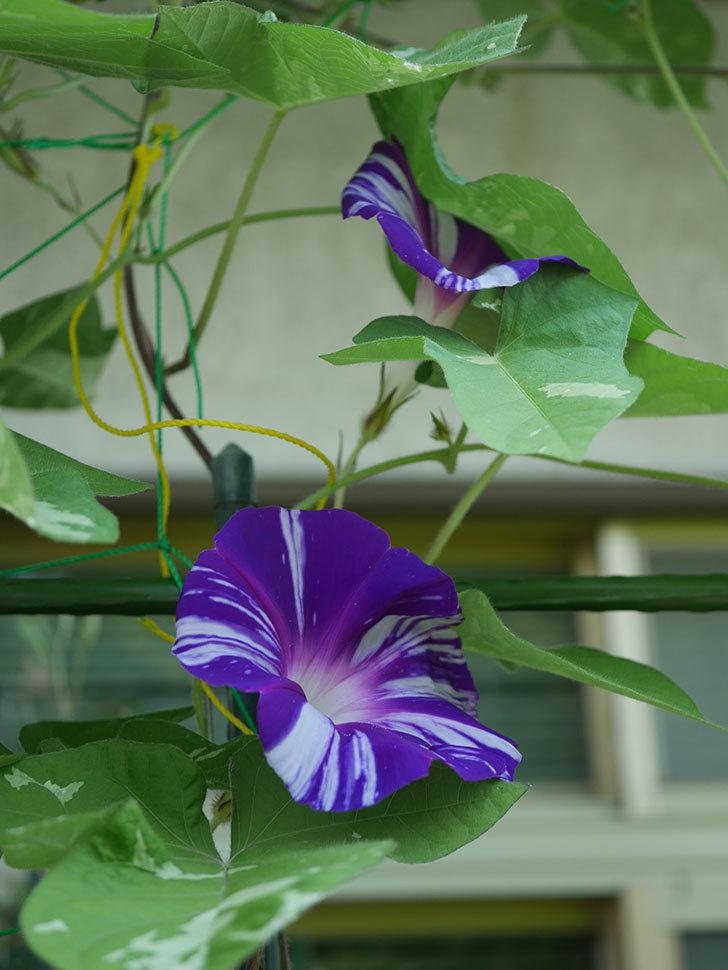絞り咲アサガオの白紫の花が咲いた。2020年-008.jpg