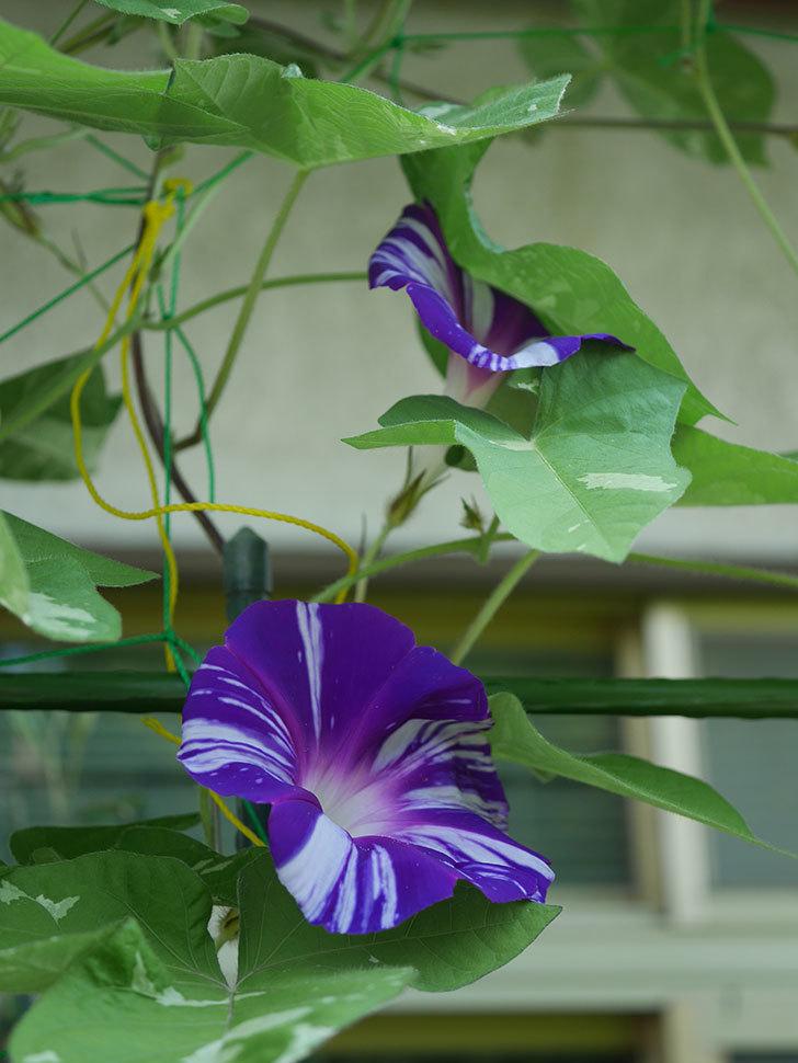 絞り咲アサガオの白紫の花が咲いた。2020年-009.jpg