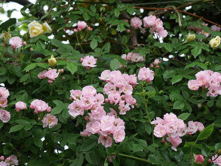 群舞(ツルバラ)がたくさん咲いた。2018年-1.jpg