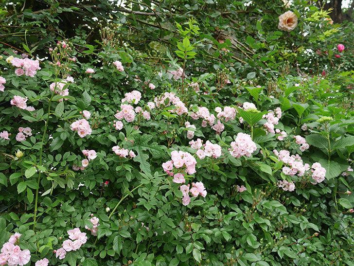 群舞(ツルバラ)がたくさん咲いた。2018年-10.jpg
