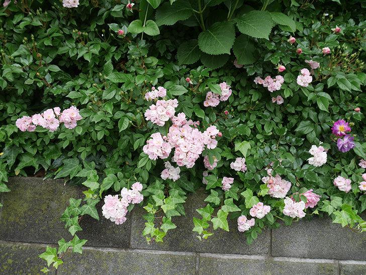 群舞(ツルバラ)がたくさん咲いた。2018年-11.jpg
