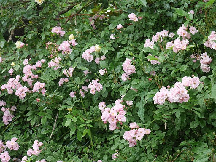 群舞(ツルバラ)がたくさん咲いた。2018年-14.jpg