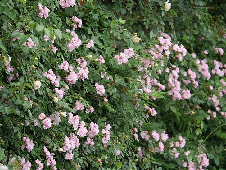 群舞(ツルバラ)がたくさん咲いた。2018年-15.jpg