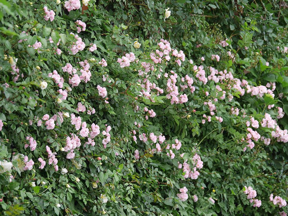 群舞(ツルバラ)がたくさん咲いた。2018年-16.jpg