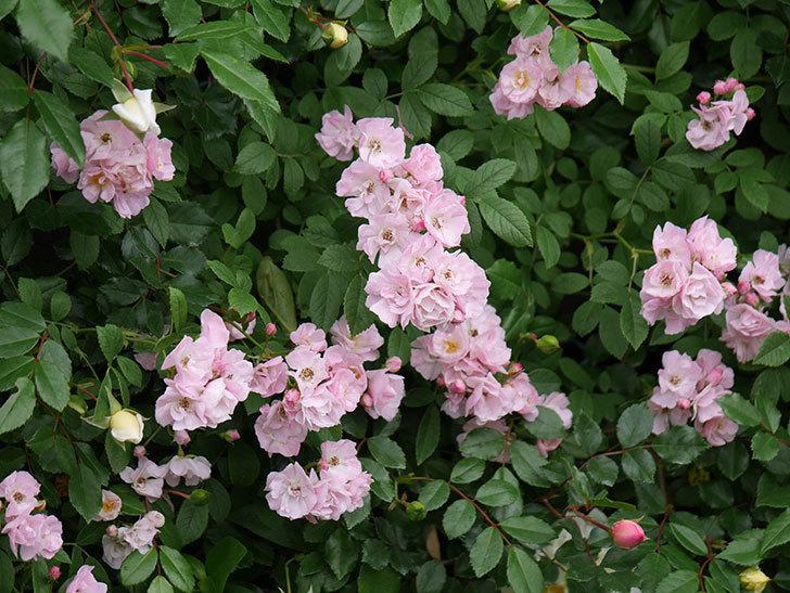 群舞(ツルバラ)がたくさん咲いた。2018年-17.jpg