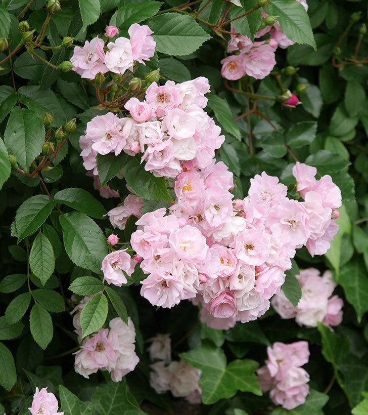 群舞(ツルバラ)がたくさん咲いた。2018年-19.jpg