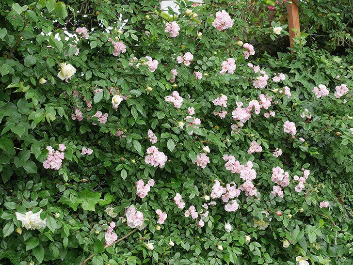群舞(ツルバラ)がたくさん咲いた。2018年-2.jpg