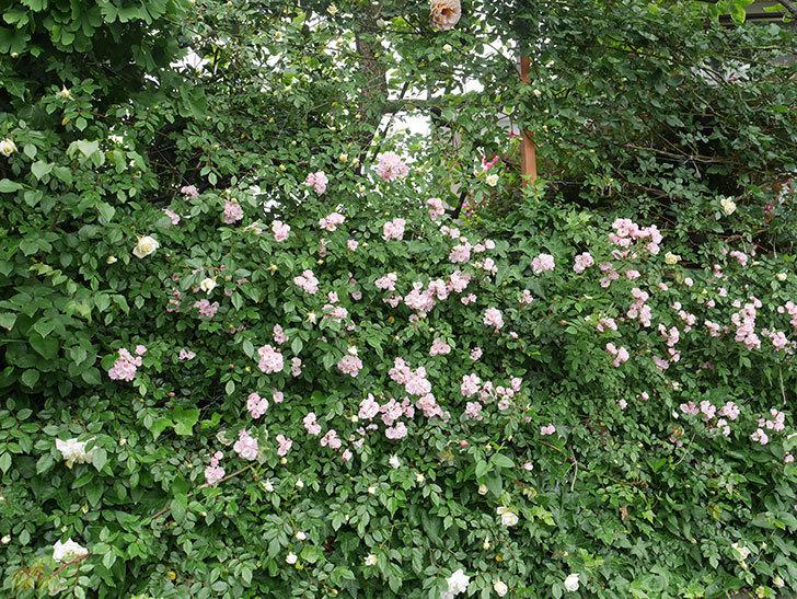 群舞(ツルバラ)がたくさん咲いた。2018年-3.jpg