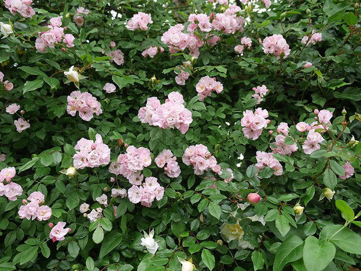 群舞(ツルバラ)がたくさん咲いた。2018年-6.jpg