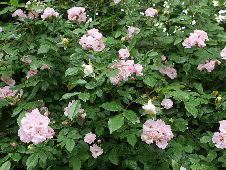 群舞(ツルバラ)がたくさん咲いた。2018年-7.jpg