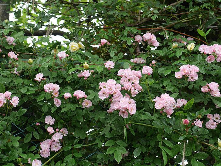 群舞(ツルバラ)がたくさん咲いた。2018年-8.jpg