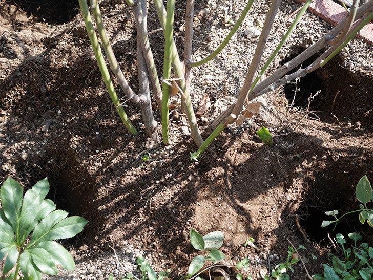 群舞(ツルバラ)に寒肥を施した。ツルバラ。2021年-004.jpg