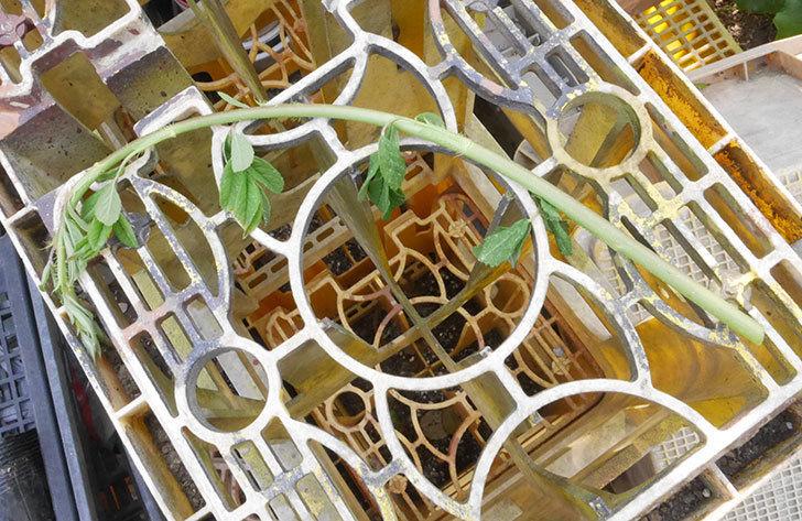 群舞(ツルバラ)のベーサルシュートが2本バラクキバチにやられて萎れた。2019年-5.jpg