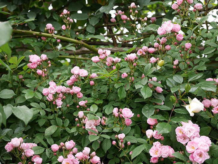 群舞(ツルバラ)の花がたくさん咲いた。2019年-1.jpg