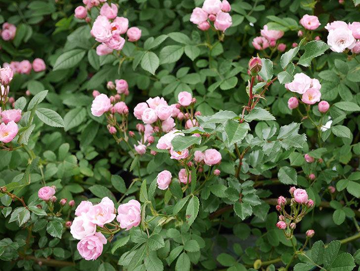群舞(ツルバラ)の花がたくさん咲いた。2019年-10.jpg