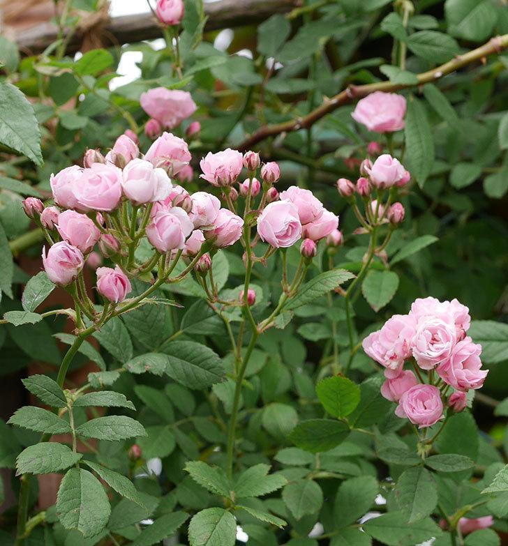 群舞(ツルバラ)の花がたくさん咲いた。2019年-11.jpg