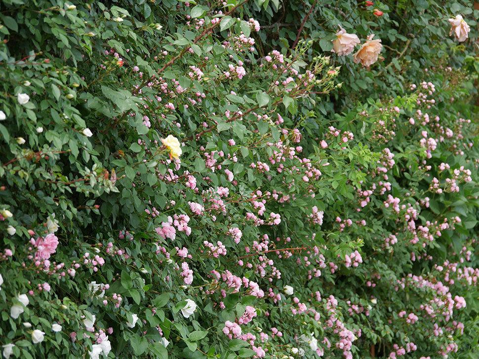 群舞(ツルバラ)の花がたくさん咲いた。2019年-13.jpg