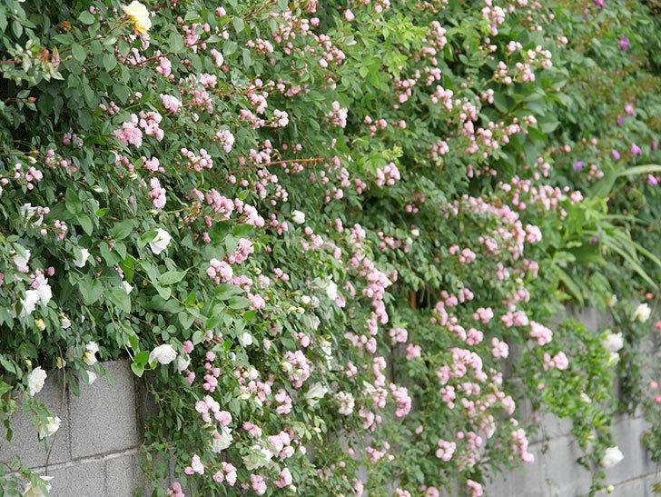 群舞(ツルバラ)の花がたくさん咲いた。2019年-14.jpg