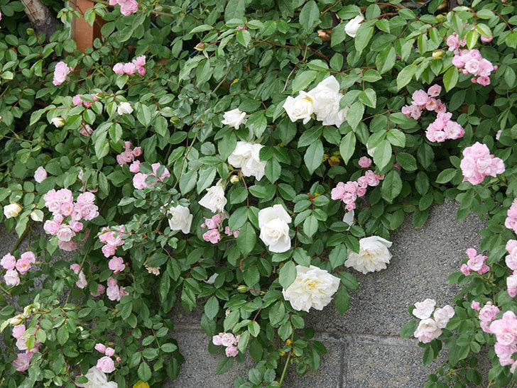 群舞(ツルバラ)の花がたくさん咲いた。2019年-16.jpg