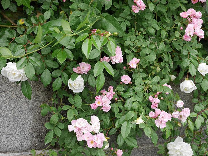 群舞(ツルバラ)の花がたくさん咲いた。2019年-3.jpg