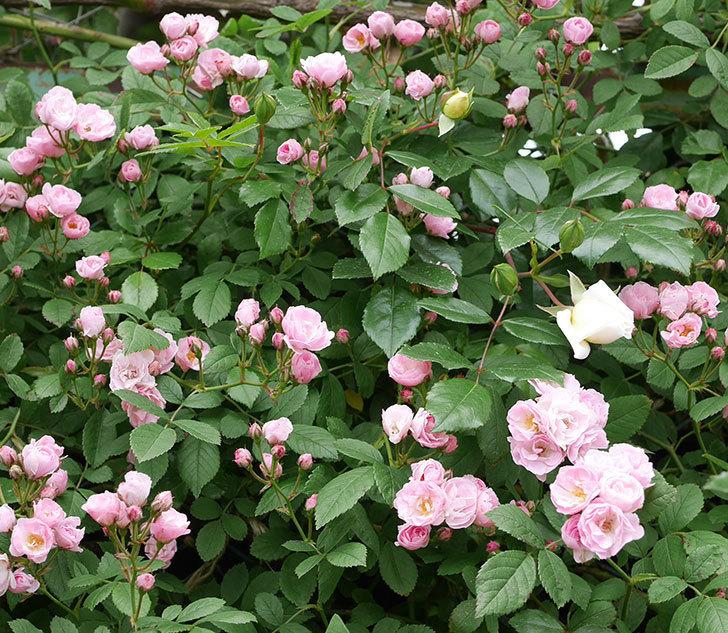 群舞(ツルバラ)の花がたくさん咲いた。2019年-4.jpg
