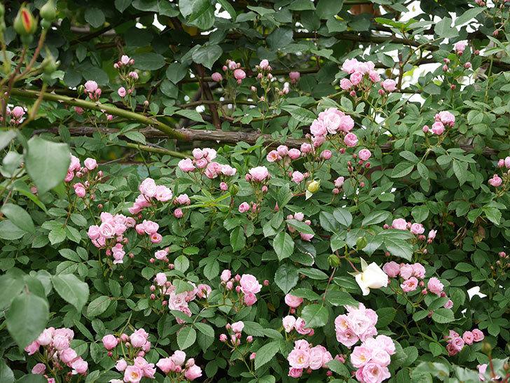 群舞(ツルバラ)の花がたくさん咲いた。2019年-5.jpg