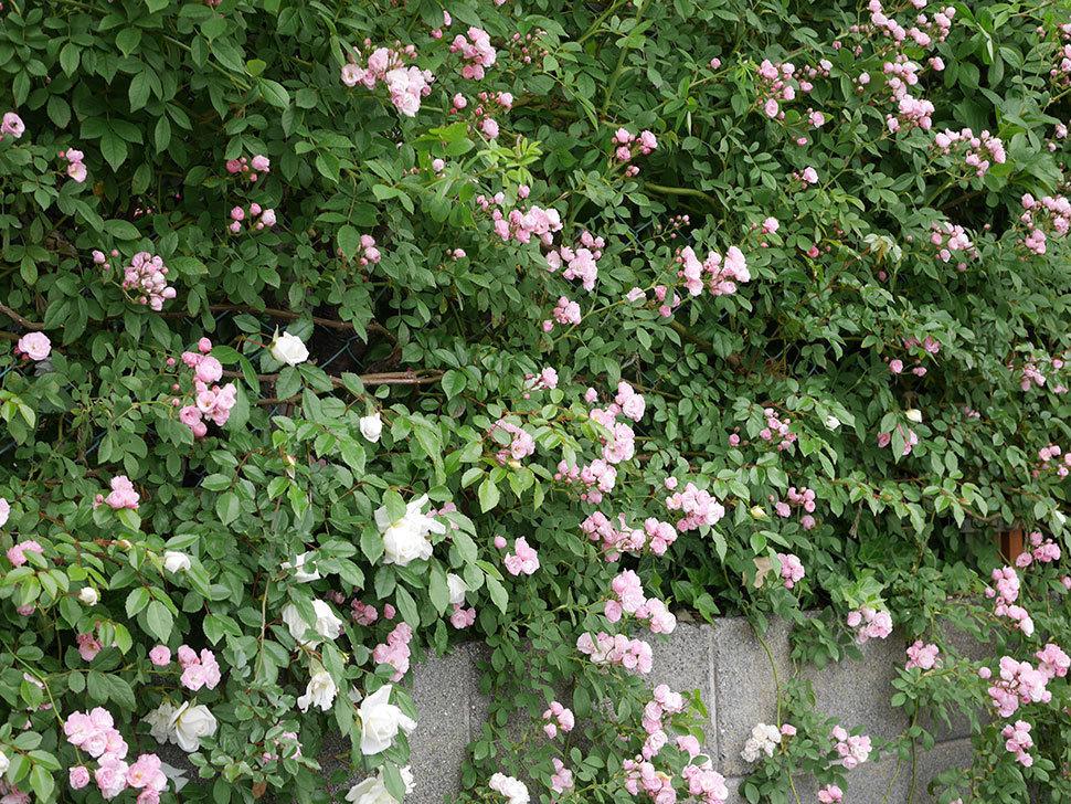 群舞(ツルバラ)の花がたくさん咲いた。2019年-6.jpg