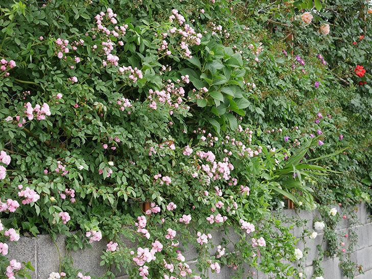 群舞(ツルバラ)の花がたくさん咲いた。2019年-7.jpg