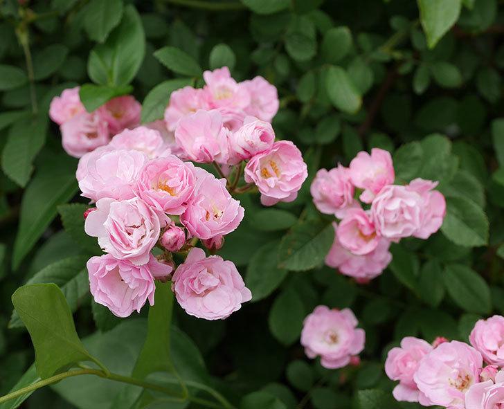 群舞(ツルバラ)の花がたくさん咲いた。2019年-8.jpg