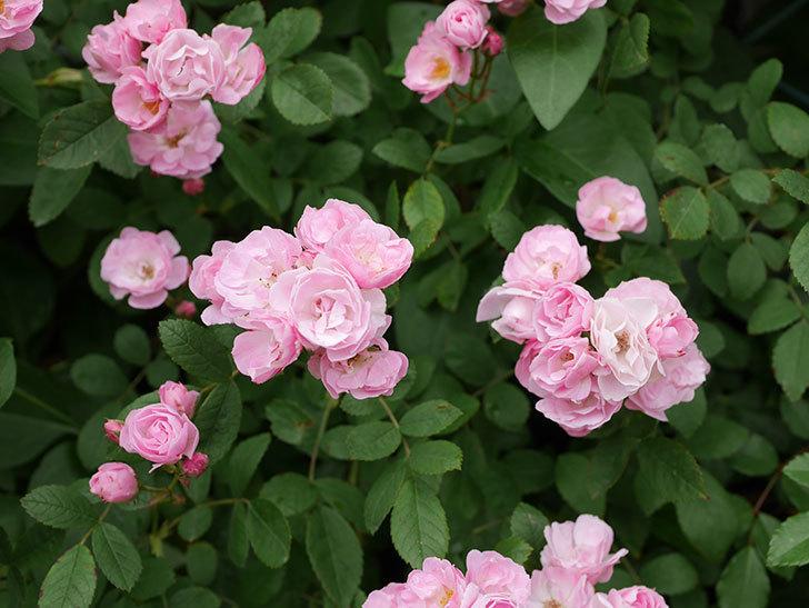 群舞(ツルバラ)の花がたくさん咲いた。2019年-9.jpg