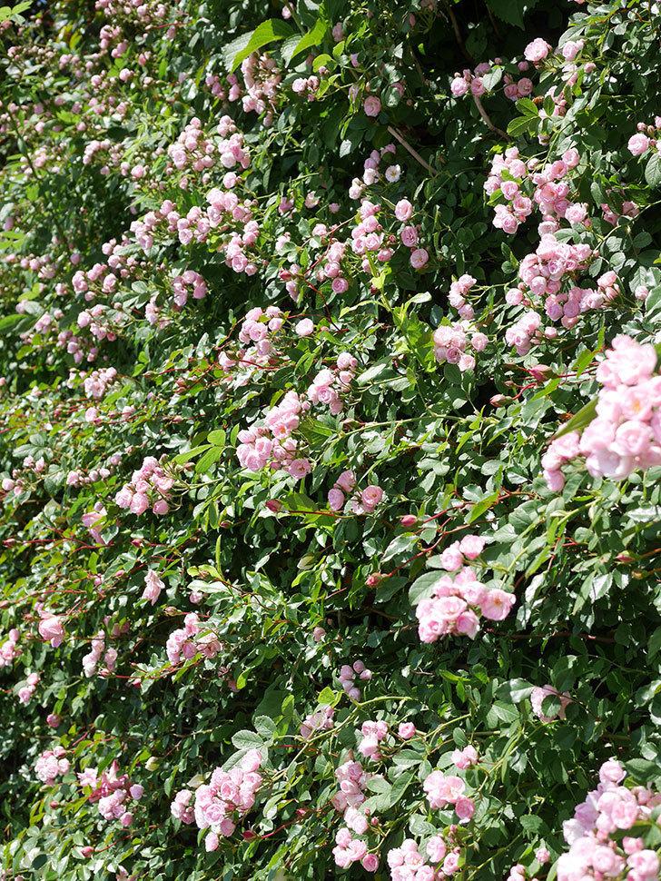 群舞(ツルバラ)の花がたくさん咲いた。ツルバラ。2021年-025.jpg
