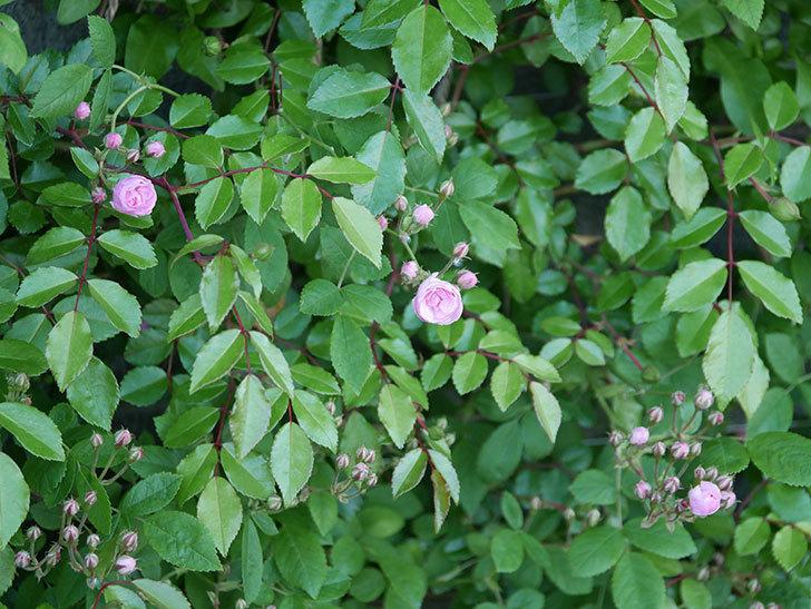 群舞(ツルバラ)の花が咲いた。2020年-13.jpg