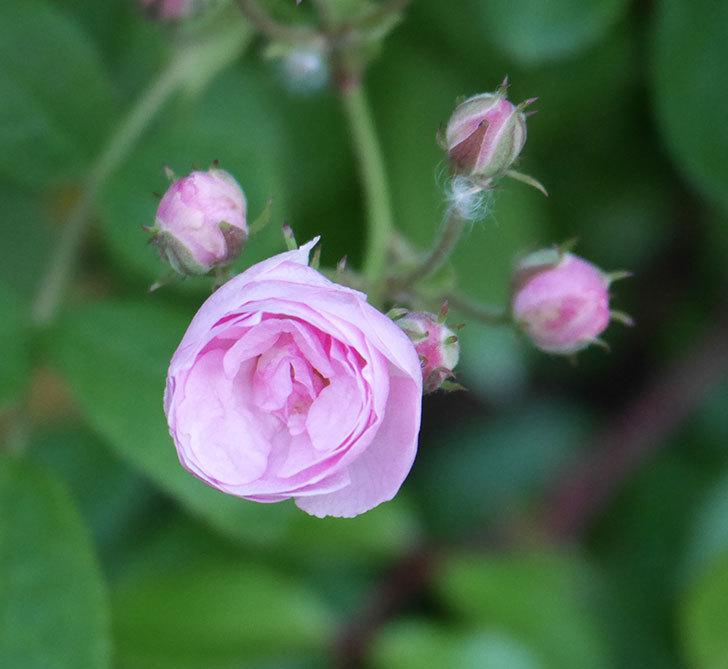 群舞(ツルバラ)の花が咲いた。2020年-15.jpg