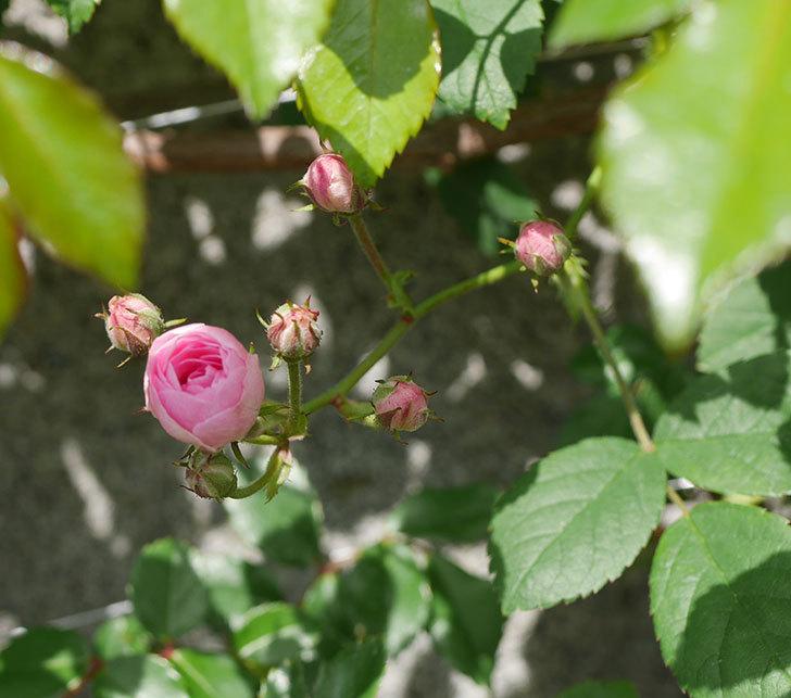 群舞(ツルバラ)の花が咲いた。2020年-2.jpg