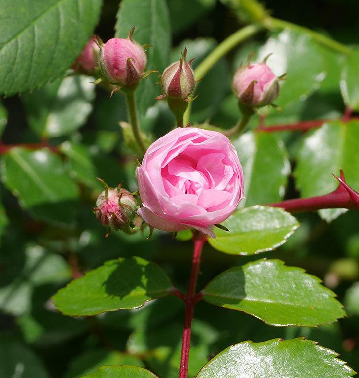 群舞(ツルバラ)の花が咲いた。2020年-4.jpg