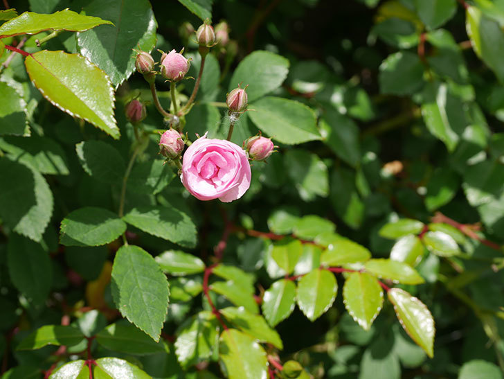 群舞(ツルバラ)の花が咲いた。2020年-5.jpg