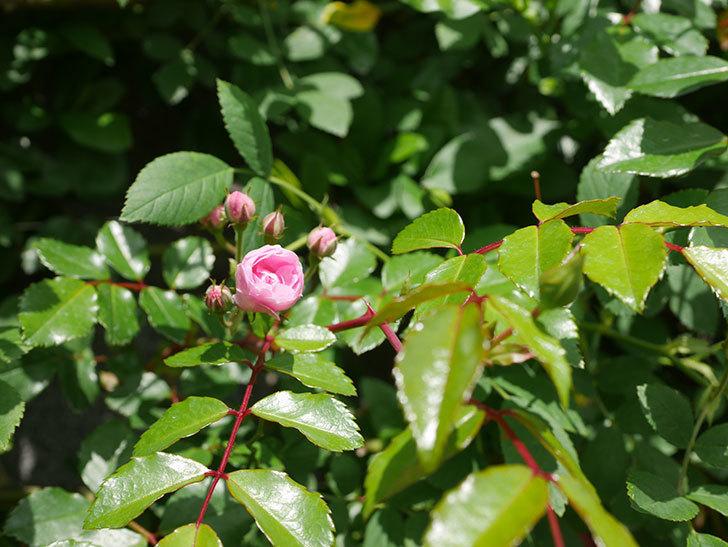 群舞(ツルバラ)の花が咲いた。2020年-8.jpg