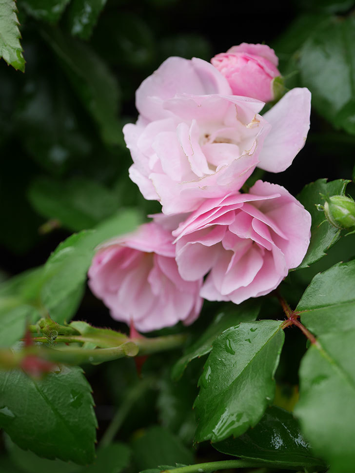 群舞(ツルバラ)の花が咲いた。ツルバラ。2021年-003.jpg
