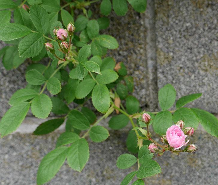 群舞(ツルバラ)の花が咲きだした。2018年-3.jpg