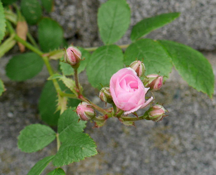 群舞(ツルバラ)の花が咲きだした。2018年-4.jpg
