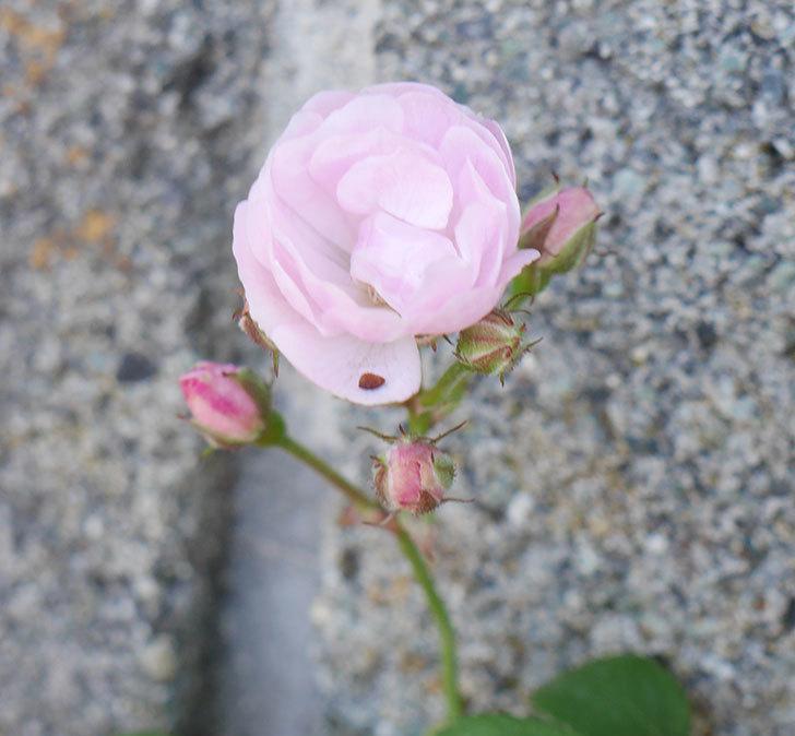 群舞(ツルバラ)の花が咲きだした。2019年-1.jpg