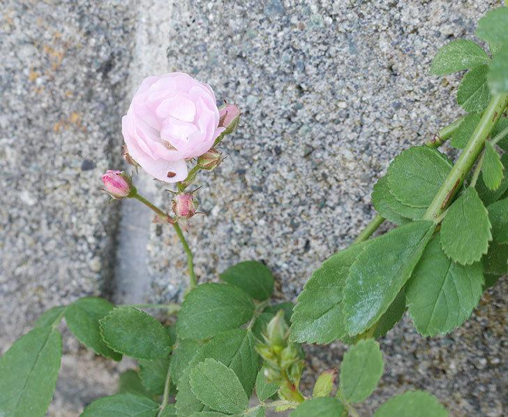 群舞(ツルバラ)の花が咲きだした。2019年-2.jpg